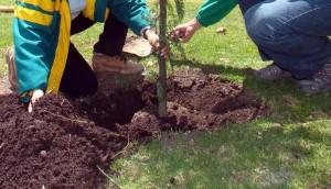 Plantación del árbol